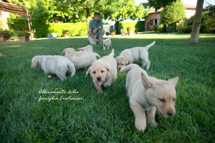 Vendita Cuccioli Di Labrador Canilabradorit